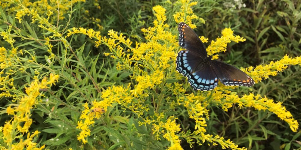 spotted purple on goldenrod